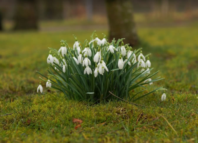 snowdrops-flowers-spring-1