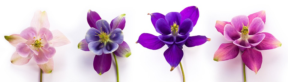 four purple and pink columbine flowers