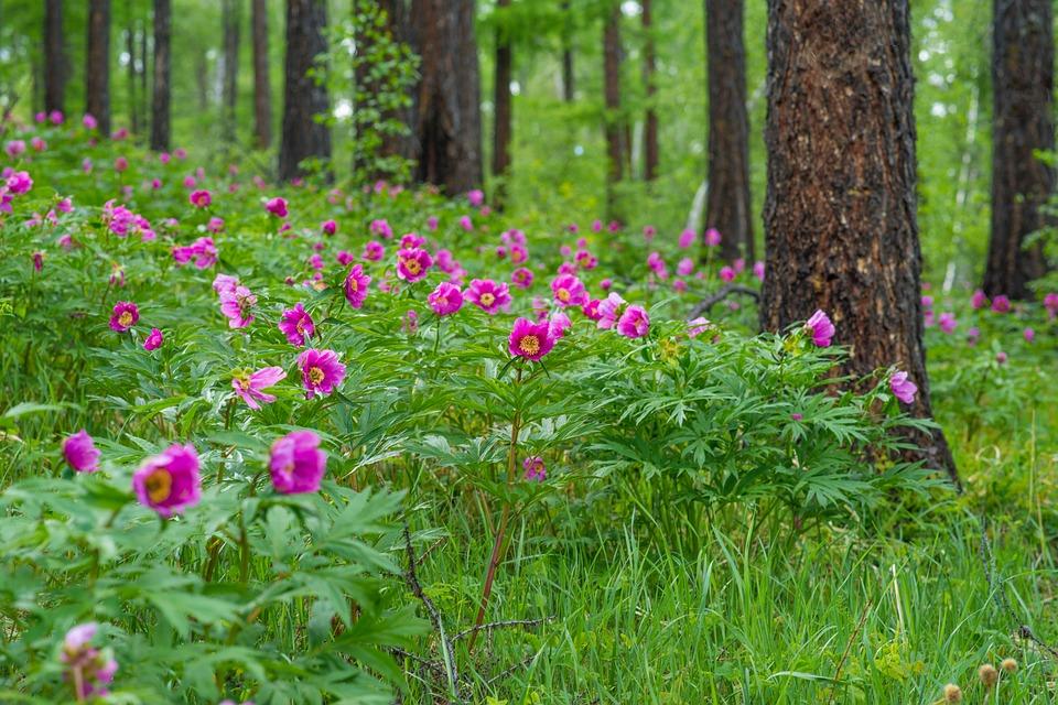fuscia wild peonies