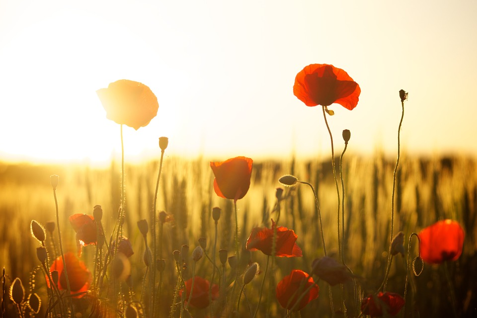 summer poppies sunset